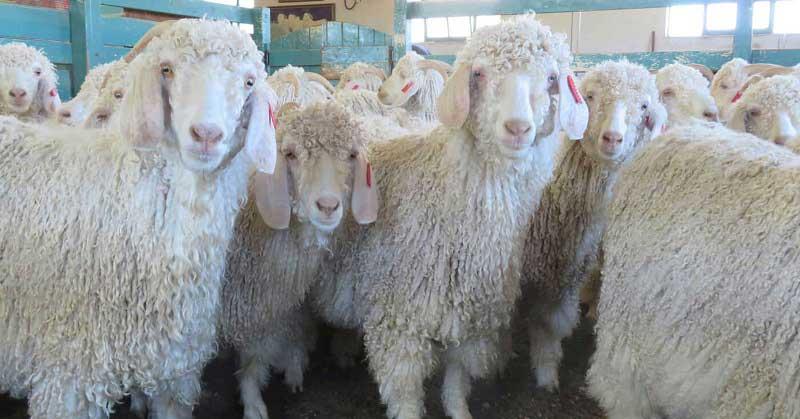 angorskie-kozy-s-prichyoskoj