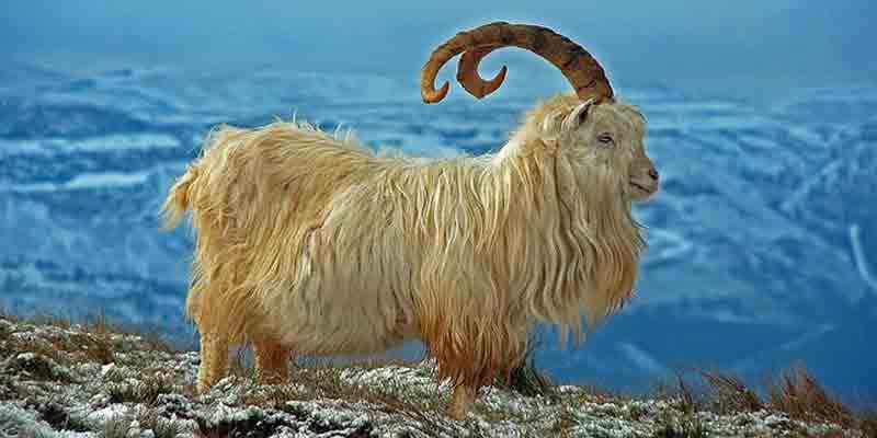 kashemirovaya-tibetskaya-koza