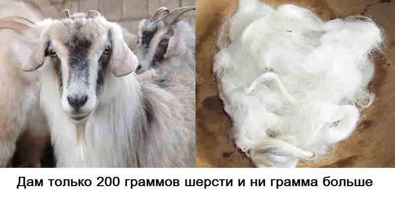 koza-i-sherst