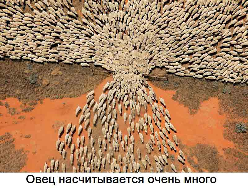 ovechi-stada.